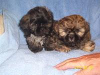 2 male shihtzu . they will be ready for new home first