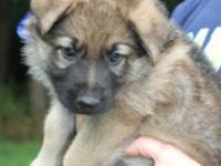 For Sale: AKC Shiloh German Shepherd Pups Red & Black
