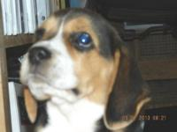 "ONE LEFT: Male 4 ""Pet"" Quality $600 .Thank-you Carol,"