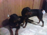 AKC EXCELLENT QUALITY PUPPIES, ONLY 3 LEFT! ALL GIRLS,