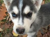 Akc registered Siberian husky pups born sept 6 they