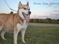 We are accepting deposits on our AKC Siberian Husky
