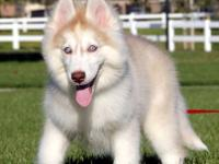 Beautiful AKC Siberian Husky 3month old Female She has