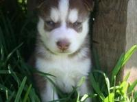 We have three lovely red and white Siberian huskies.