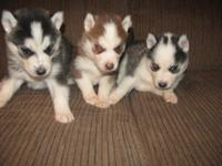 We have actually 6 akc signed up Siberian husky young