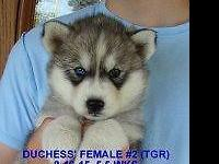 We have a beautiful AKC Siberian Husky for sale. She is