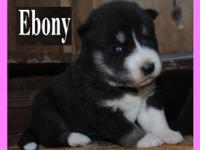 *** AKC Siberian Husky puppies *** We have 2 males & &