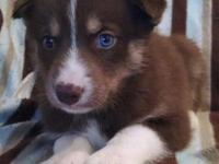 Dark red (copper) Siberian Husky lady with bi eyes.