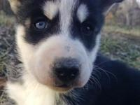 White and black female young puppy with bi eyes.