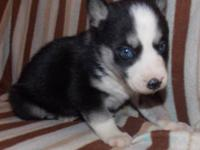 Bblack and white female with blue eyes. Ready to go