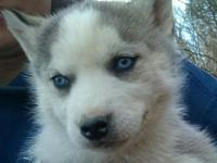 AKC Siberian Husky female puppy. Gray and white with