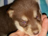 Red & & white female husky young puppy. All set