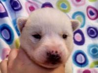 Light sable/gray piebald female with blue eyes. She is