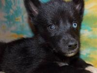 Solid black female Siberian husky puppy with blue