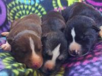 AKC Siberian Husky Girl Puppies. One dark red (copper)