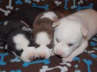 3 AKC Siberian Husky Females Red & & White, Black &