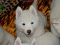 We have beautiful Siberian Husky puppies. They just