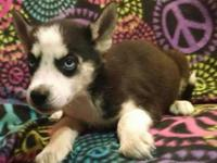 AKC Siberian Husky Male Black & & White Ready Now.