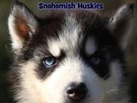 Meet Luke! This litter is half Snohomish bred; mama is
