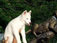 AKC Siberian Husky Male 10 weeks old. Up to date on