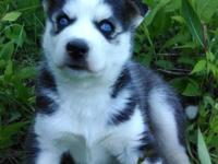 AKC Siberian Husky Guy Young puppy Black Grey & & White
