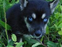 Akc Siberian Husky Male Puppy Solid Black Blue Eyes Ready Now For