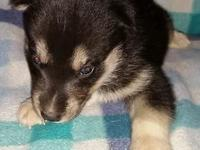 Black & & white male husky young puppy. All set