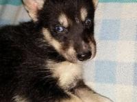 Black & & white male husky puppy with one blue eye and