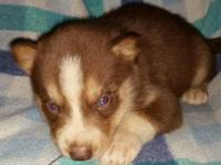 Red & & white male husky young puppy. Ready September
