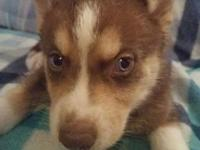 Red & & white male husky puppy with blue eyes. Ready to
