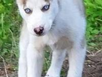 AKC Siberian Husky Male Ready Now $700 Red & white male