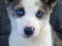 Wolf gray and white male with blue eyes. Ready now at 9