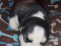 AKC Siberian Husky Male Puppy Wolf Grey & & White $650