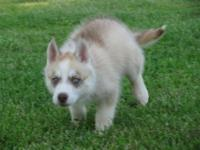 Beautiful White Red Akc Registered Siberian Husky Pup New Price