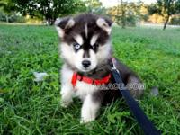 This puppy name is Eagle, a black/white Siberian Husky