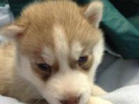 Siberian Husky puppies, AKC, 11 weeks old. One light