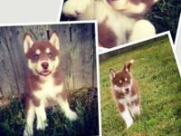 I have 2 Red and White Siberian Huskies new puppies.