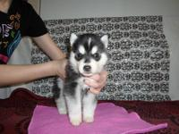 AKC registered Siberian Husky puppies. We had 7