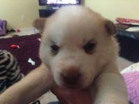 We have a gorgeous litter of husky puppies available