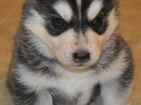 AKC siberian husky males. Champion pedigree. All my