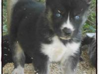 AKC Siberian husky puppies available! Many have been