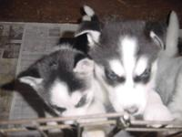 We have had perfect Siberian Husky puppies for16 years