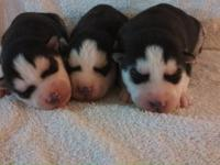 I have AKC/CKC registered Siberian Husky puppies for