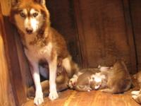 We have 3 litters of akc Siberian husky puppies 16