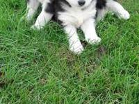 AKC Siberian Husky Puppies. Dad is red and white, Mom