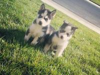 We have 7 beautiful pure bred AKC Siberian Husky
