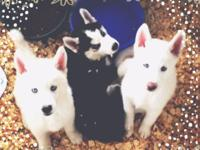 We have 2 PURE WHITE Husky dogs prepared to head to