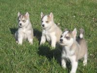 We have AKC Siberian Husky puppies that were birthed