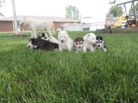 We have two pure white Siberian Husky females for sale.