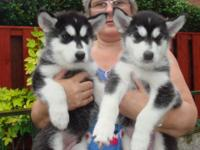 Gorgeous AKC Siberian Husky Puppies, . Males and Female